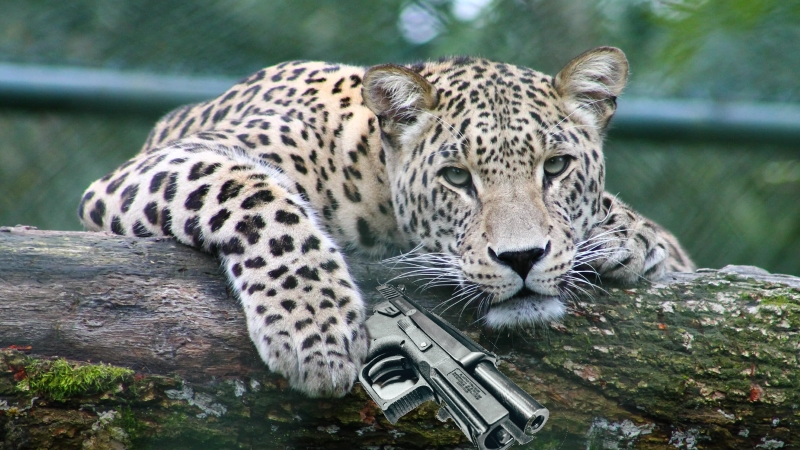 Leopardo con pistola.